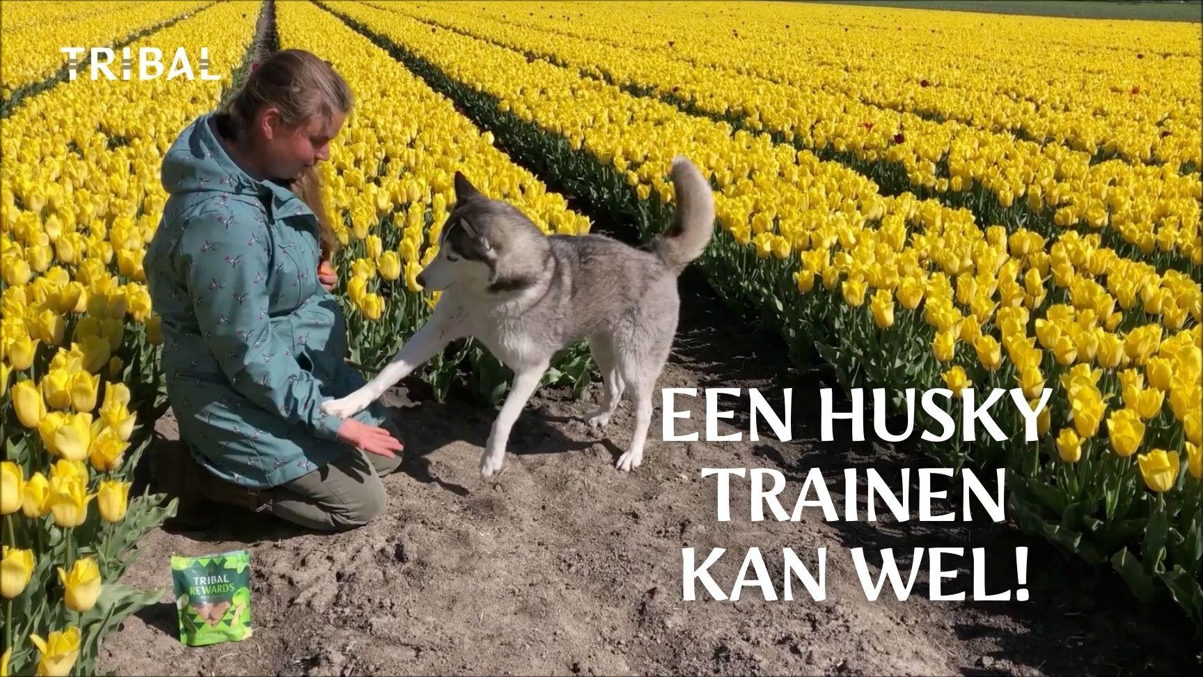Husky Trainen met Tribal